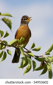 American robin sitting on the tree branch