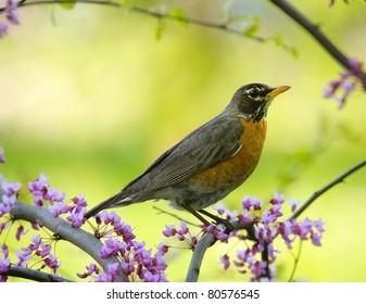 American robin sitting on a tree.