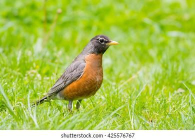 American Robin, Turdus migratorius, in grass