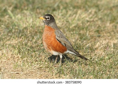 American Robin (Turdus migratorius) looking for worms on a lawn