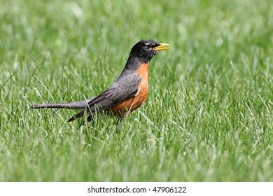 American Robin (Turdus migratorius) on a lawn in spring