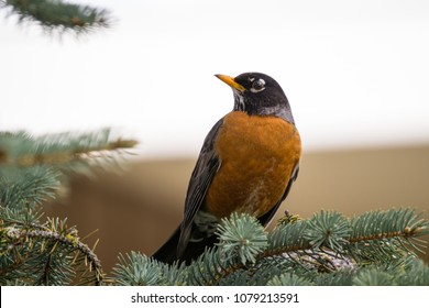 American Robin (Turdus migratorius) Perched in a Pine Tree