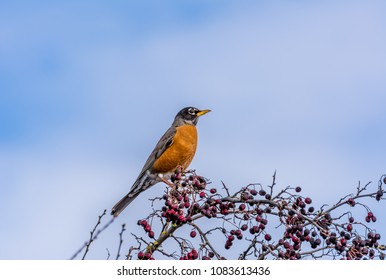 American robin (Turdus migratorius) perched on a hawthorn tree with last year's berries in late winter, Westham Island, Fraser River Delta, British Columbia, Canada.