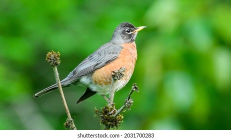 American robin (Turdus migratorius) rests on a perch in a spring time.