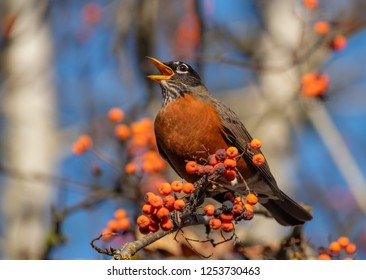 An American Robin (Turdus migratorius) singing in a Mountain Ash Tree (Sorbus)  loaded with orange berries in the Autumn