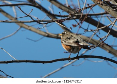 American Robin (Turdus migratorius) sitting on a red maple (Acer rubrum) branch in winter.