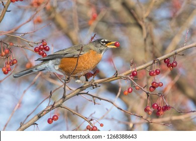 american robin in winter