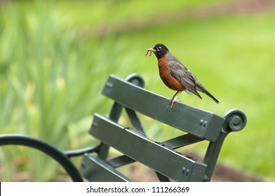 American Robin with a worm perched on a park bench