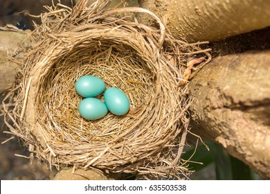American Robin's Eggs and Nest II