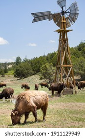 American rural farm scene with American bison (buffalo) at a waterhole with a wooden windmill water pump