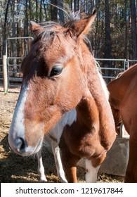 American Saddlebred colt