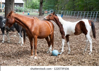 American Saddlebred and colt standing in a paddock in west Georgia