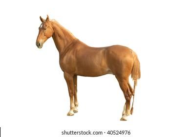 A american saddlebred horse isolated on white