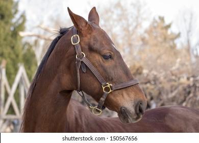 American Saddlebred Horse Portrait