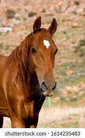 American Saddlebred Horse, Portrait of adult