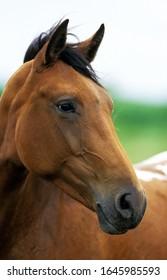 American Saddlebred Horse, Portrait d'un Adulte