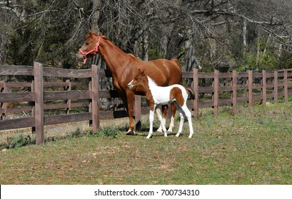 American Saddlebred mare and foal standing by the pasture fence