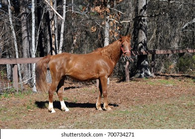 American saddlebred mare standing in the pasture on a winter day