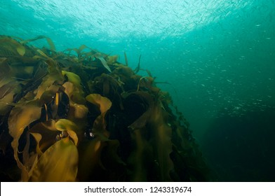 American sand lances underwater by a kelp bed in the St.Lawrence River