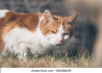 An American Short Hair breed cat grazes in the grass on a summer afternoon in Colorado.