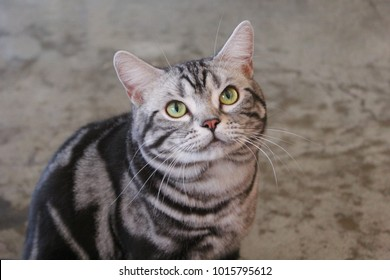 american short hair cat
