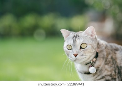 American short hair cat, gazing on far object. selective focus on its eye