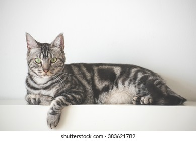 American Short Hair cat laying on white wall