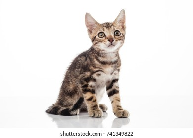 American short hair cat on white background