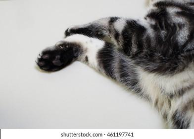 American short hair cat paws