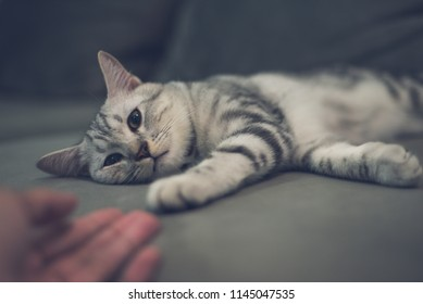 American short hair cat relaxing on the couch