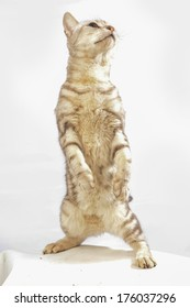 American short hair cat standing