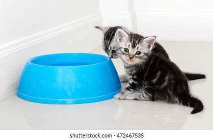 American short hair cat waiting for food with copy space