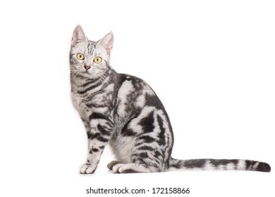 American Short hair Cat in white background