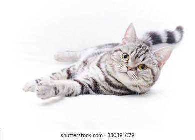 American Short Hair Kitten
