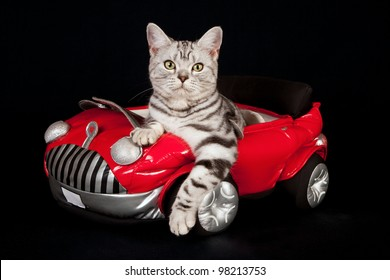 American short hair kitten standing next to toy motorbike on black background