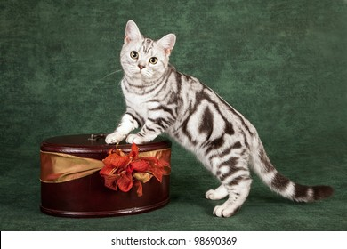 American short hair kitten standing on wooden box on green background