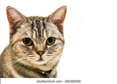 American Short Hair with yellow eyes cat