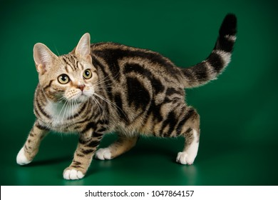 American shorthair bicolor cat