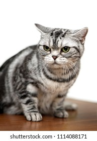 American Shorthair cat close-up sitting on exhibition table against white background