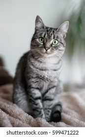 American Shorthair cat with green eyes look at camera.