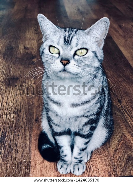 American shorthair cat with green eyes. Silver tabby kitty sit on the vintage wood floor, thinking. Sweet pet kitten short hair breed. Adorable animal photo.