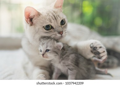 American shorthair cat hugging her kitten with love