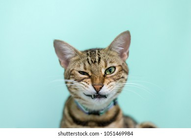 American shorthair cat looking at camera in bad mood face.