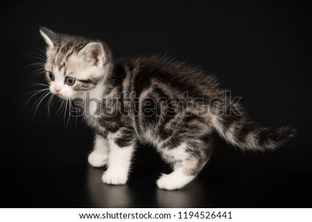 American Shorthair Cat Colors