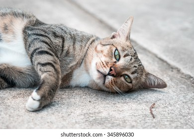 American Shorthair cat at park ,garden ,forest