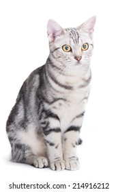 American Shorthair cat sit isolate on white background