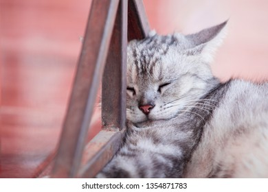 American shorthair cat,Hand holding American shorthair cat,Cute American short-haired cat sleeps