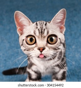 American shorthair ketten on blue sofa with funny face