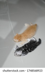American shorthair kitten is laying on the floor next to friend