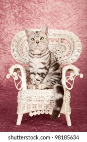 American Shorthair kitten sitting on fancy white wicker chair